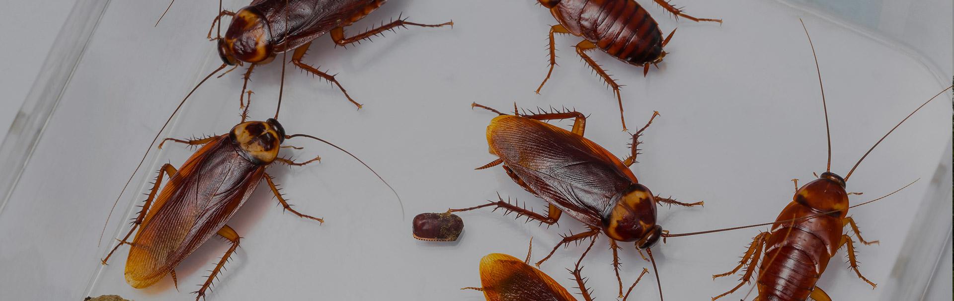 cockroachheader