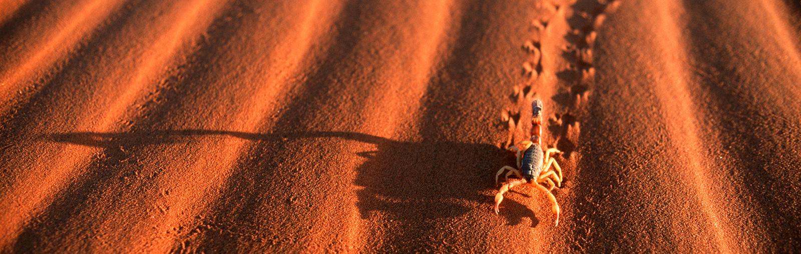 Scorpion & Tracks on a Rippled Dune