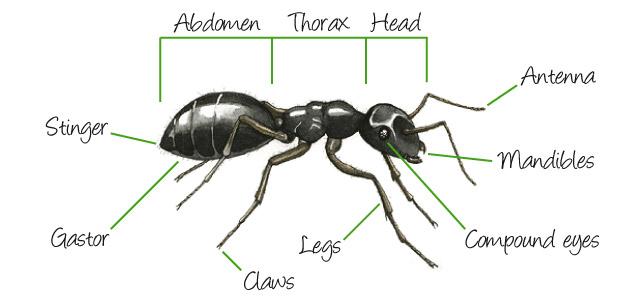 ant_anatomy_external